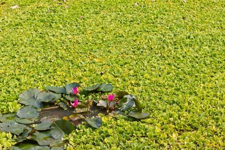 Lotus and many more aquatic weeds photo