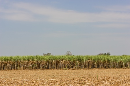 Sugarcane is grown for sugar production photo