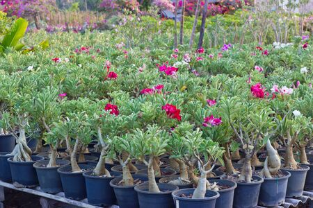 Adenium garden is a tropical plant of the field Stock Photo - 13482473