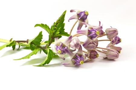 Kidney Tea Plant and Calotropis,herb of Thailand. Stock Photo - 16081107