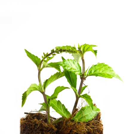 Kidney Tea Plant herbs used to treat gallstones. Stock Photo - 16081100