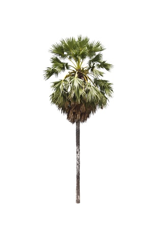 sugar palm trees on a white background Stock Photo - 16465033