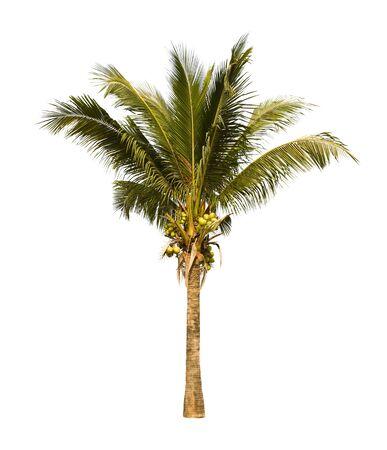 Coconut palm tree isolated on white background. photo