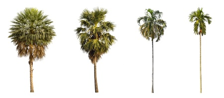 4 types of palms tree on a white background  photo