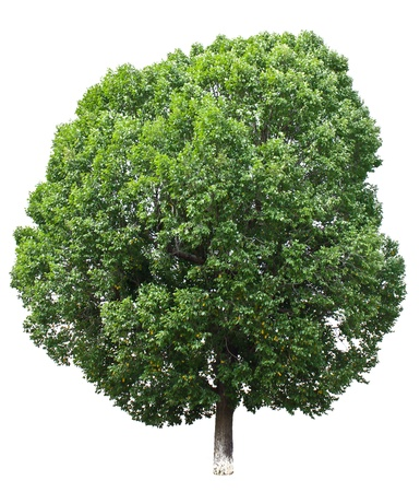 Perfect tree isolated on white background. photo