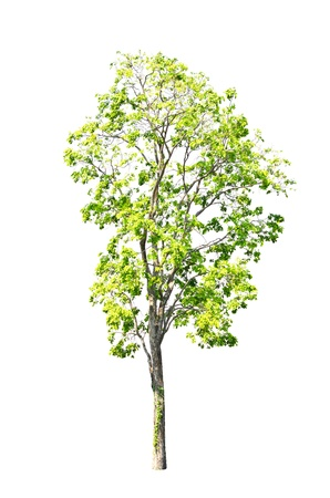 tree isolated on white background. photo