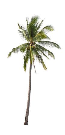 Palma da cocco isolato su sfondo bianco. Archivio Fotografico - 24291302