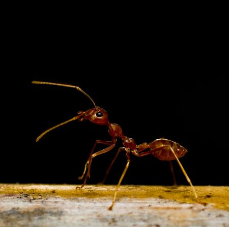 pismire: red ants on black Stock Photo