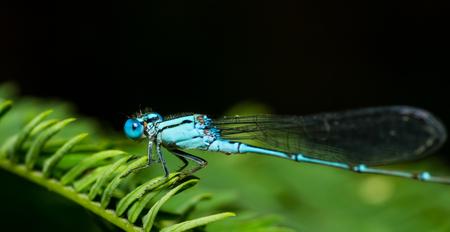 damsel: blue dragon fly on black.