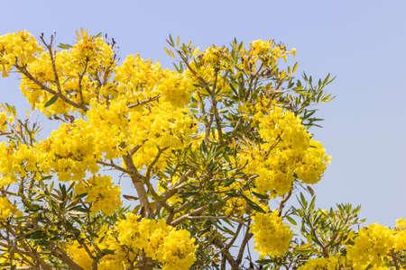 yellow flower tree: Yellow flower tree bloom. Stock Photo