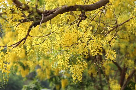 blossoming yellow flower tree: Yellow flowers blooming in  spring.