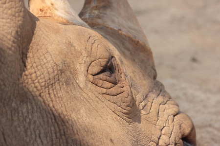 penned: White Rhino is sleeping