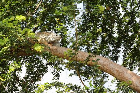 albino: Albino iguanas on the tree.
