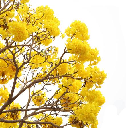 yellow flower tree: Yellow flower tree bloom on white background. Stock Photo