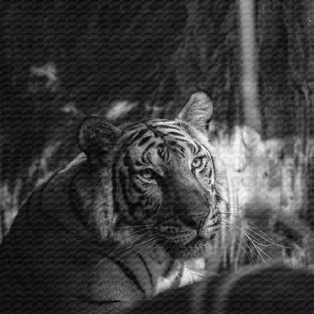 tigresa: tigre blanco y negro de la textura del lienzo.