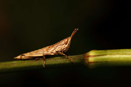 grasshoppers: Brown grasshoppers on the branches
