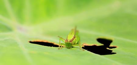 grasshoppers: Green grasshoppers eating green leaves.