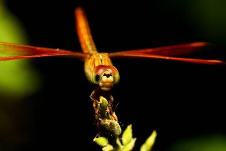 Libellula arancione su fondo nero. Archivio Fotografico - 59724318