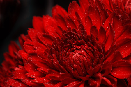 Fresh red gerbera drops of water.
