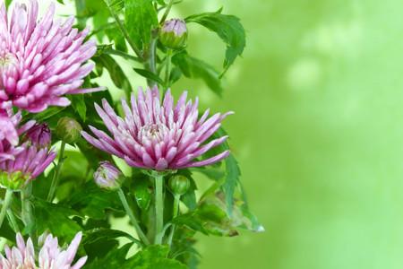 Gerbera rosa su sfondo verde. Archivio Fotografico - 59724591