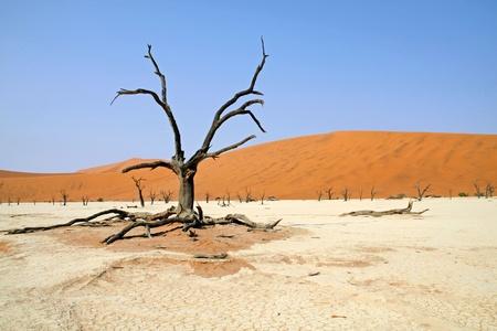 vlei: abgestorbener Baum im Dead Vlei