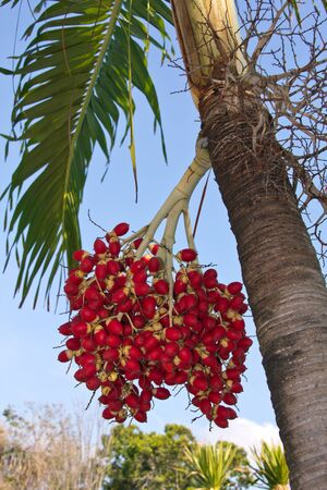 koh: Koh Samui Palmtree Stock Photo