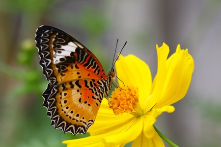 Leopard Lacewing Butterfly photo