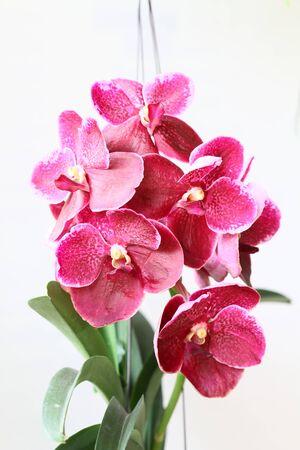 vanda: pink vanda orchid