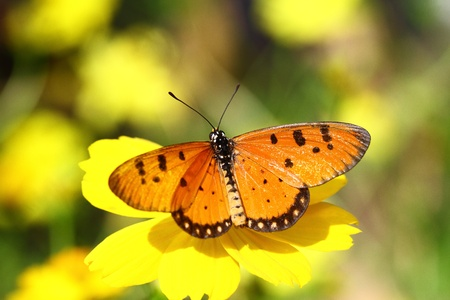 close up of Tawny Coster butterfly on shiny day