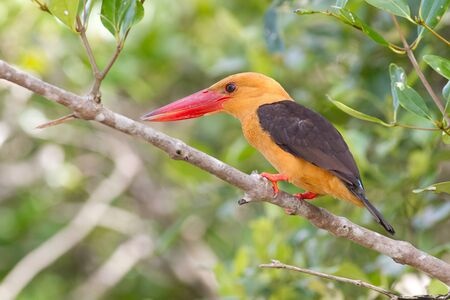Brown-Winged Kingfisher ,photo taken in Thailand photo