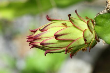unriped dragon fruit Stock Photo - 10254889