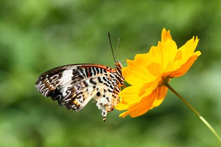 lacewing: leopard lacewing butterfly