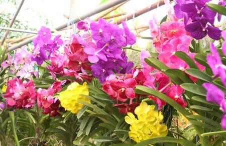 Beautiful orchid ,Vanda