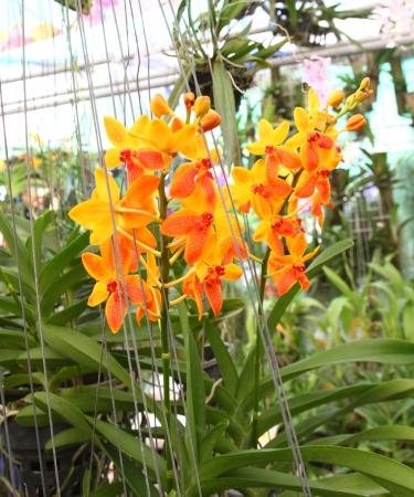 Beautiful orchid ,ascocenda  photo