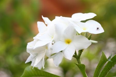 plumeria flowers Stock Photo - 15169164