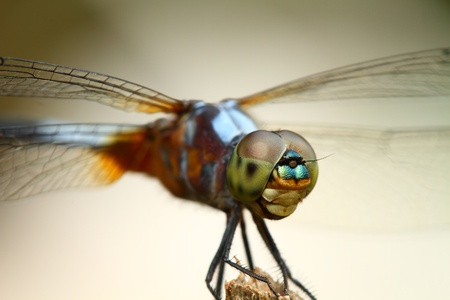 Dragonfly in nature Stock Photo - 15730306