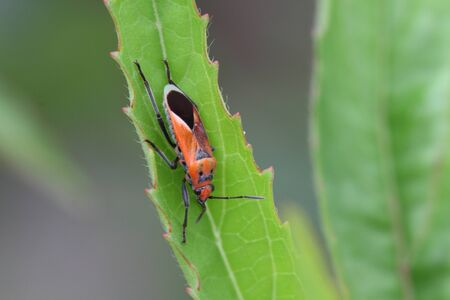 cotton stainer bug photo