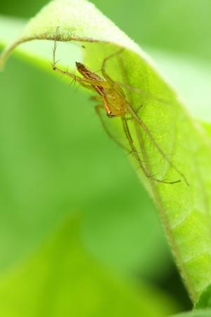 Lynx Spider Stock Photo - 15730299