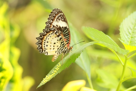 chrysope: Lacewing papillon