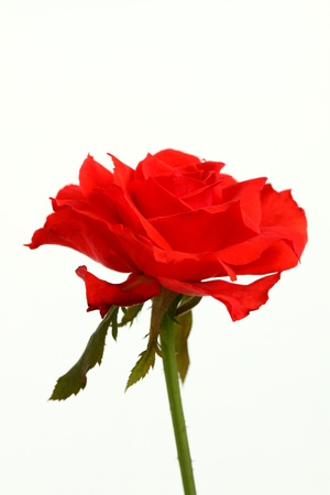 Red rose Stock Photo