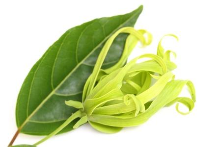 lang: Ylang-Ylang Flower on white background