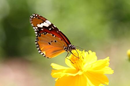 monarch butterfly: Monarch Butterfly
