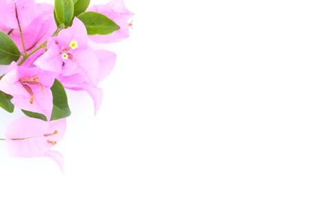 bougainvillea flowers: Paper flower