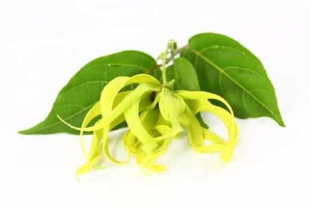 Ylang-Ylang Flower