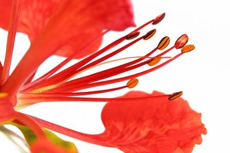 flamboyant: Flam-boyant flower  Stockfoto
