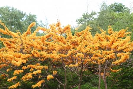 flamboyant: Flam-boyant bloem