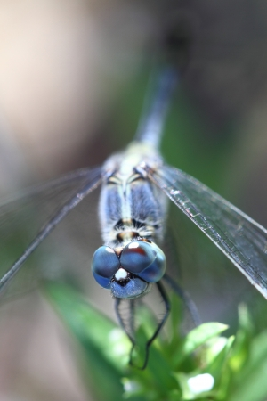Dragonfly in nature  photo