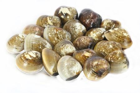 enamel venus shell