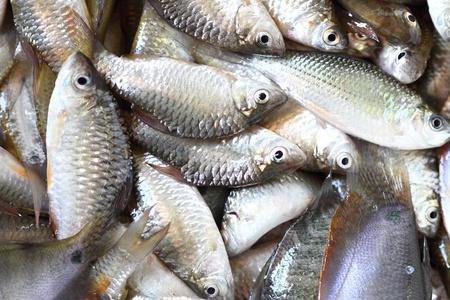 silver perch: fresh fish