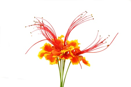 Flam-boyant flower  Stock Photo